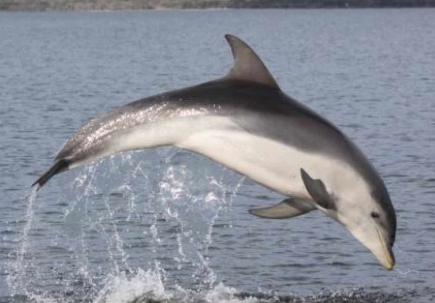 discovery of tursiops dolphins in australia Dolphin collection critical to conservation  of indo-pacific bottlenose dolphins (tursiops  of dolphins in south australia by studying.