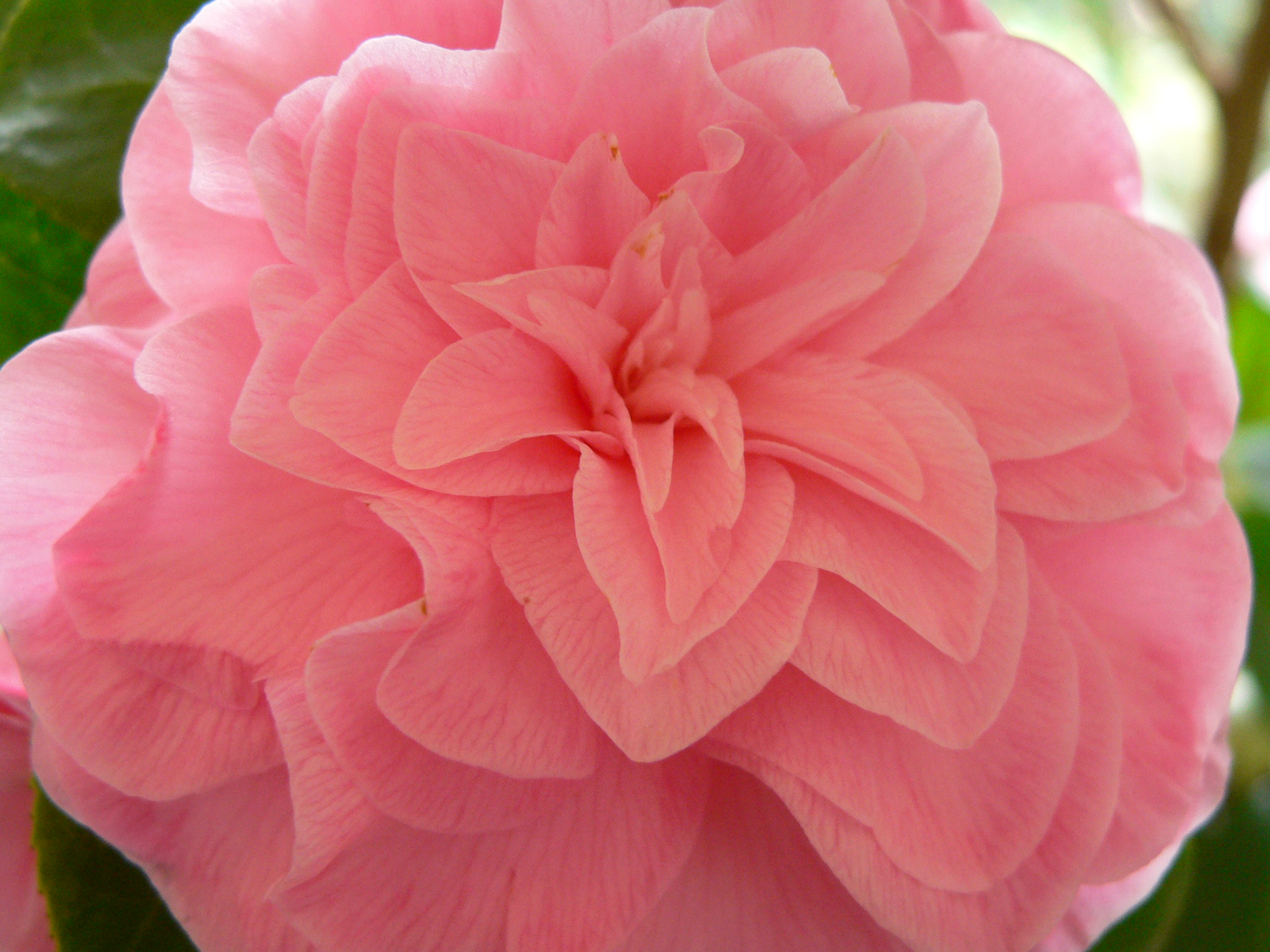 File camelia japonica pink wikimedia commons - Camelia japonica cuidados ...