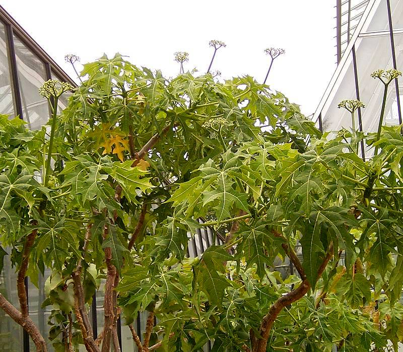 chaya plant