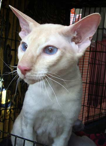https://upload.wikimedia.org/wikipedia/commons/2/2d/Cream-pointed_Peterbald_cat_%28male%29.jpg