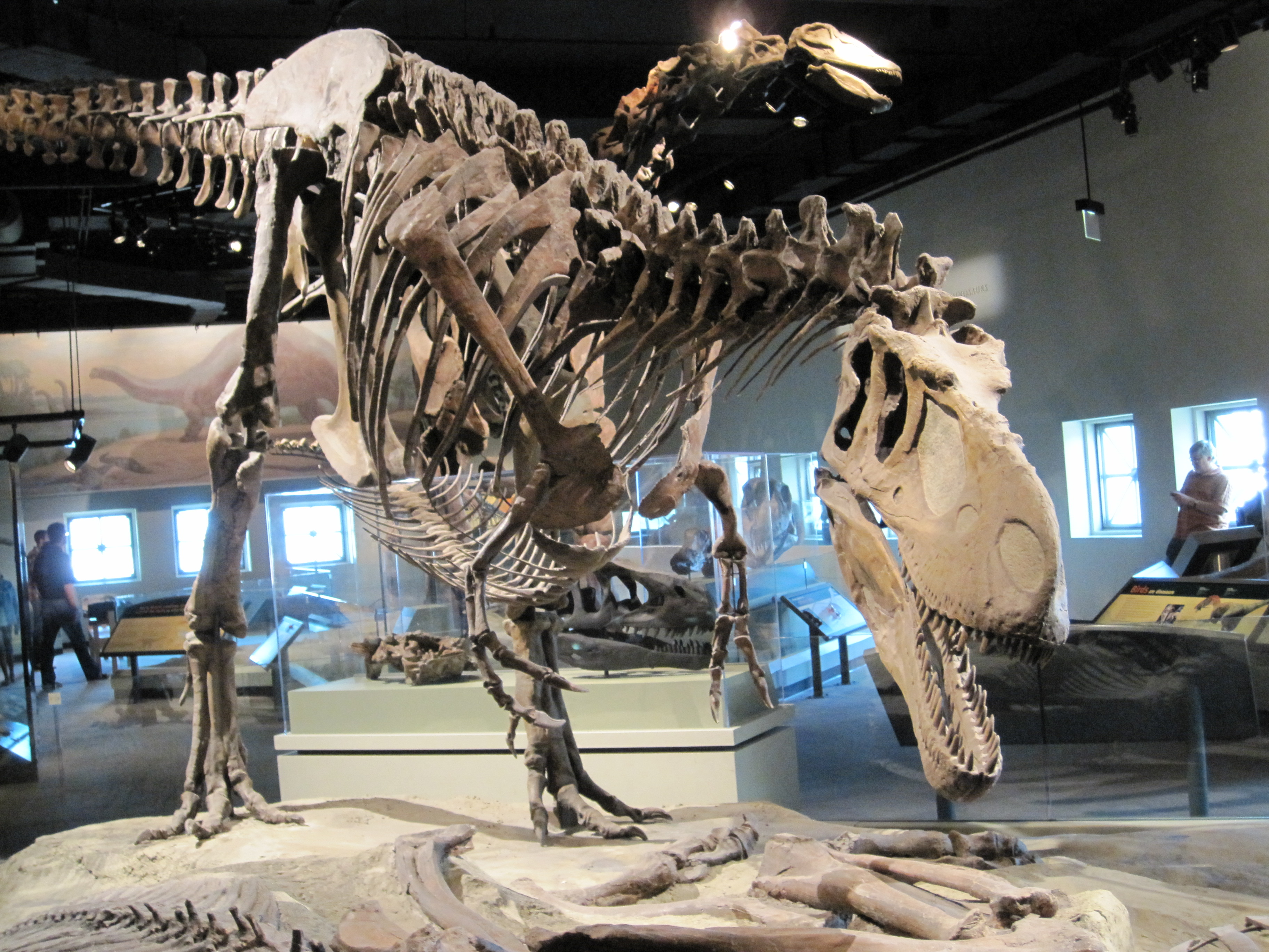File:Daspletosaurus - front.JPG - Wikipedia