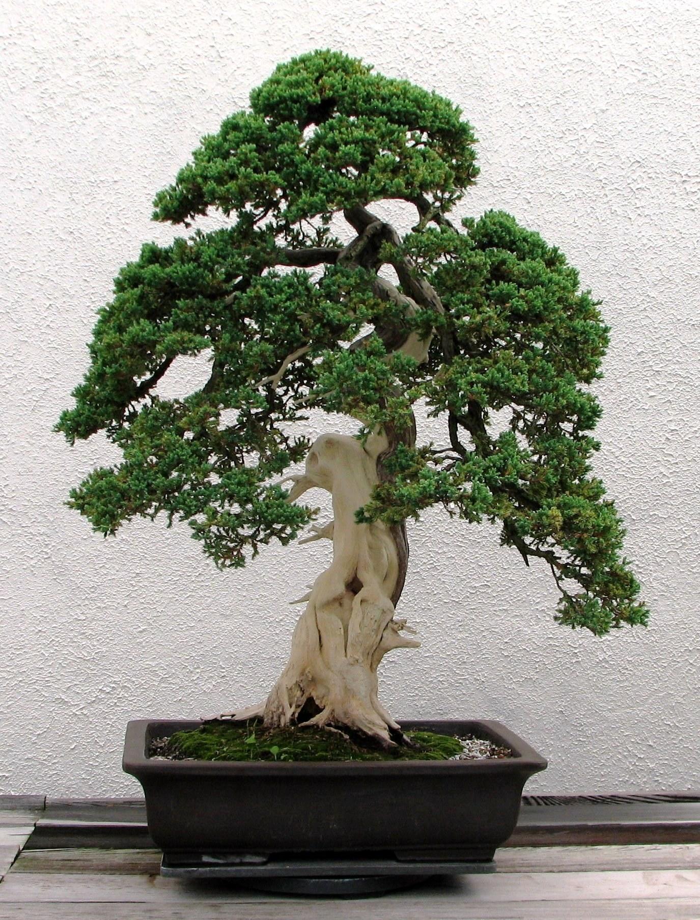Japanese Bonsai...