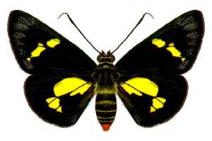<i>Euschemon</i> species of insect
