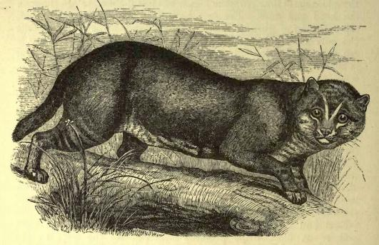 https://upload.wikimedia.org/wikipedia/commons/2/2d/Flat-headed_cat_%28f._planiceps%29.JPG