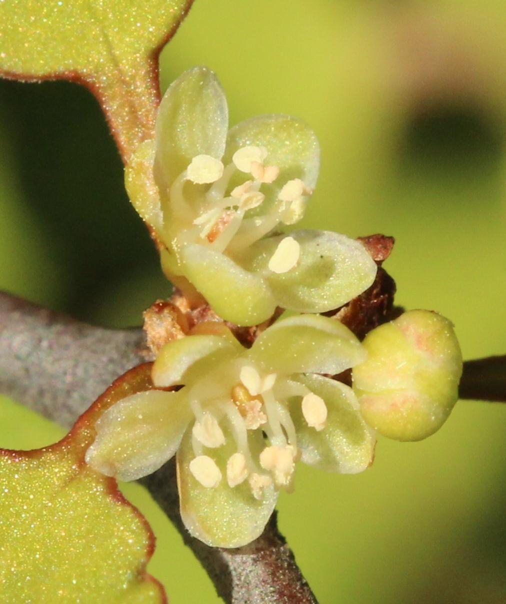 Flowers of m. astonii.jpg