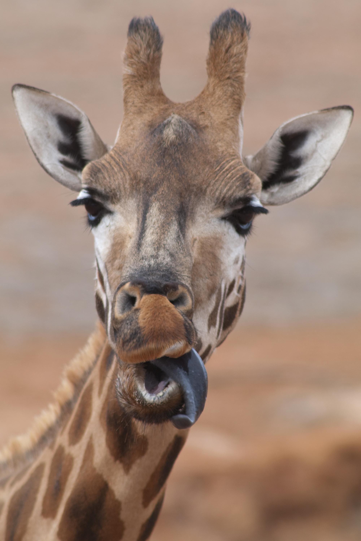 Giraffe tongue - photo#27