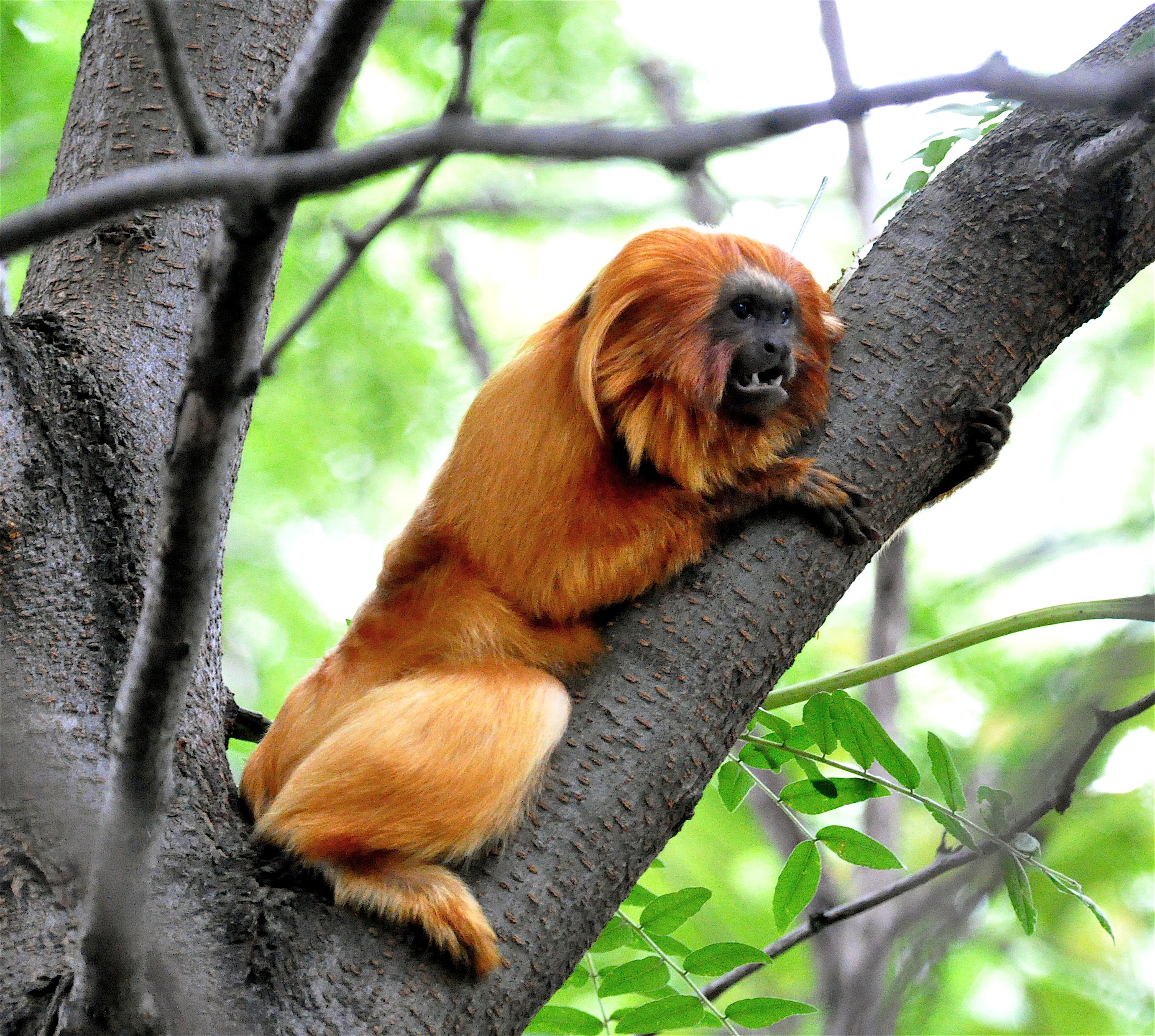 a description of golden marmosets also called leontopithecus chrysomelas The black-faced lion tamarin has a golden-coloured back that contrasts with the black-faced lion tamarin (leontopithecus caissara) (leontopithecus chrysomelas.