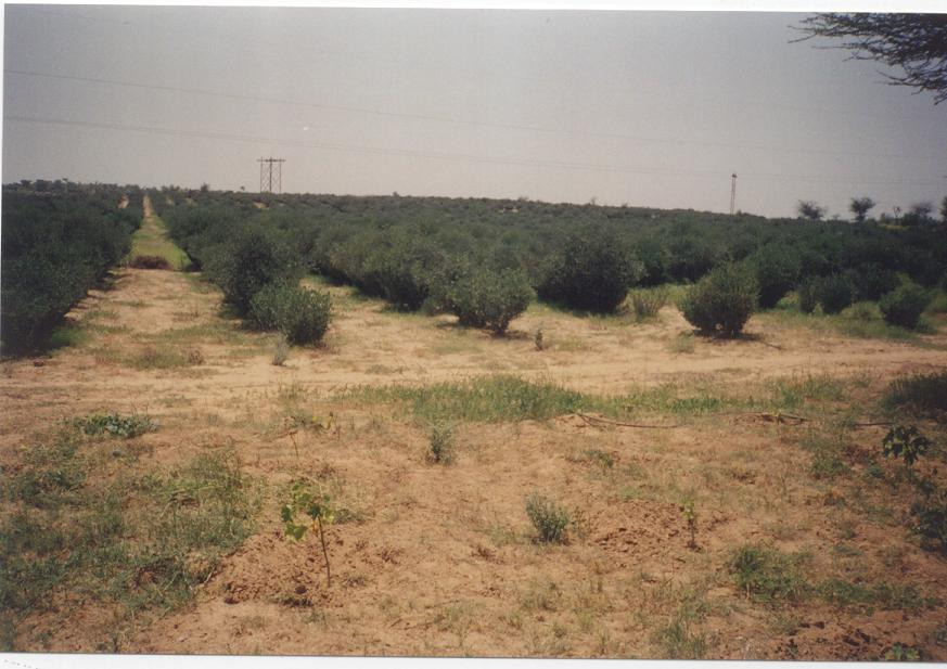 Greening desert with plantations of jojoba at Fatehpur, Shekhawati