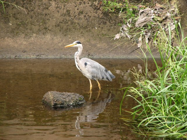 Heron, Water of Leith - geograph.org.uk - 200281