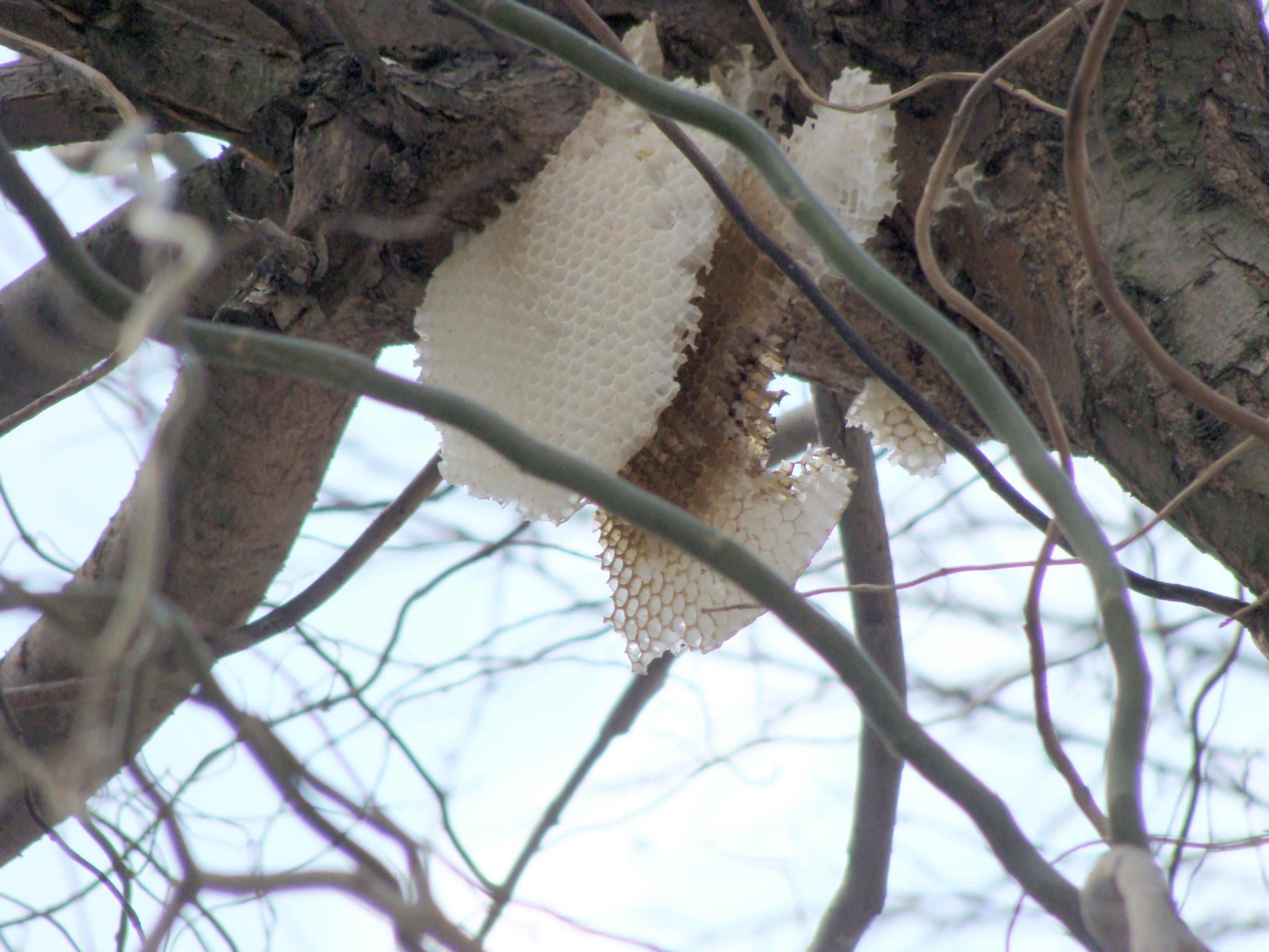 Plastry pszczele na drzewie