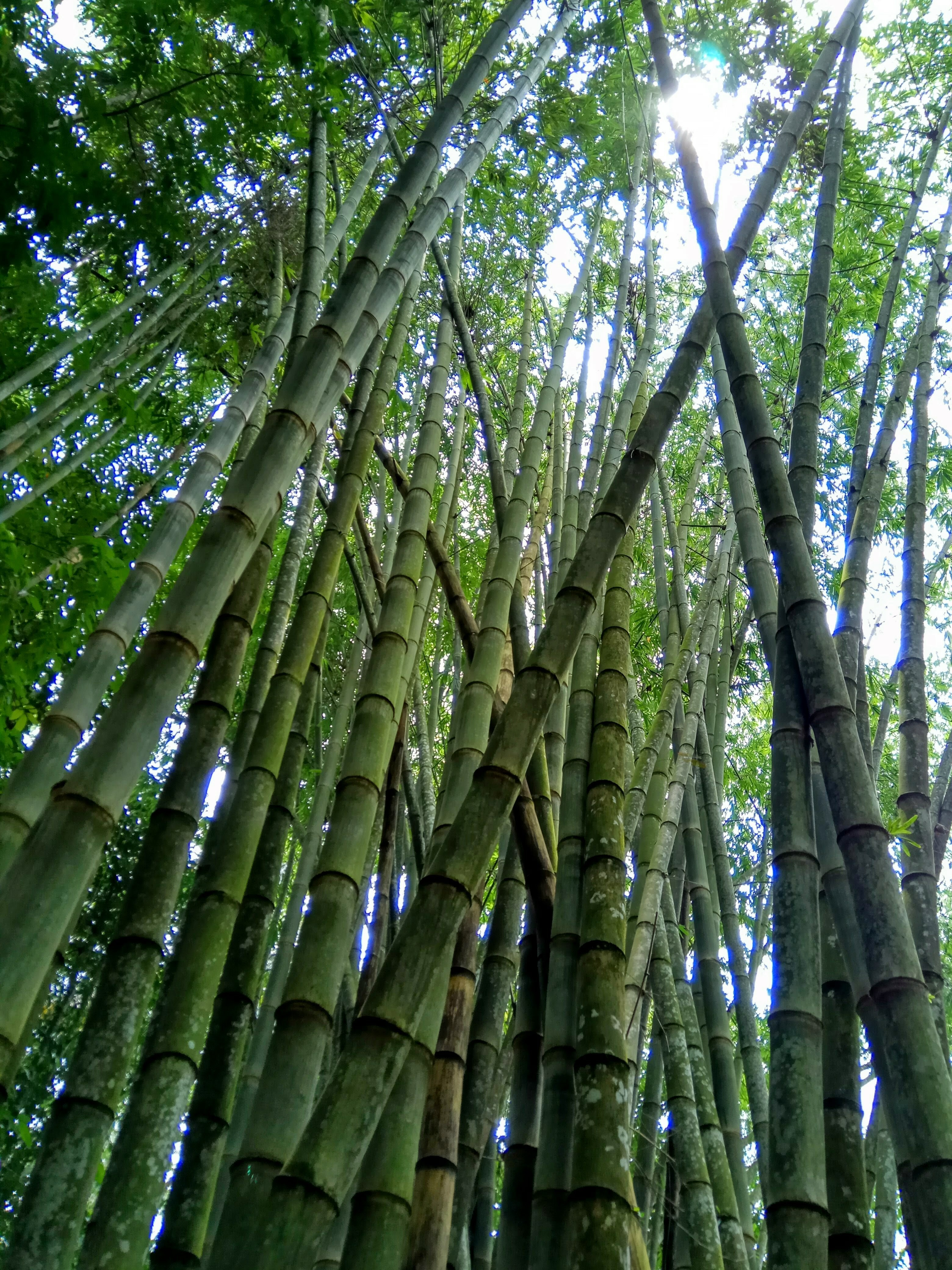 File Indonesian Bamboo Trees 01 Jpg Wikimedia Commons