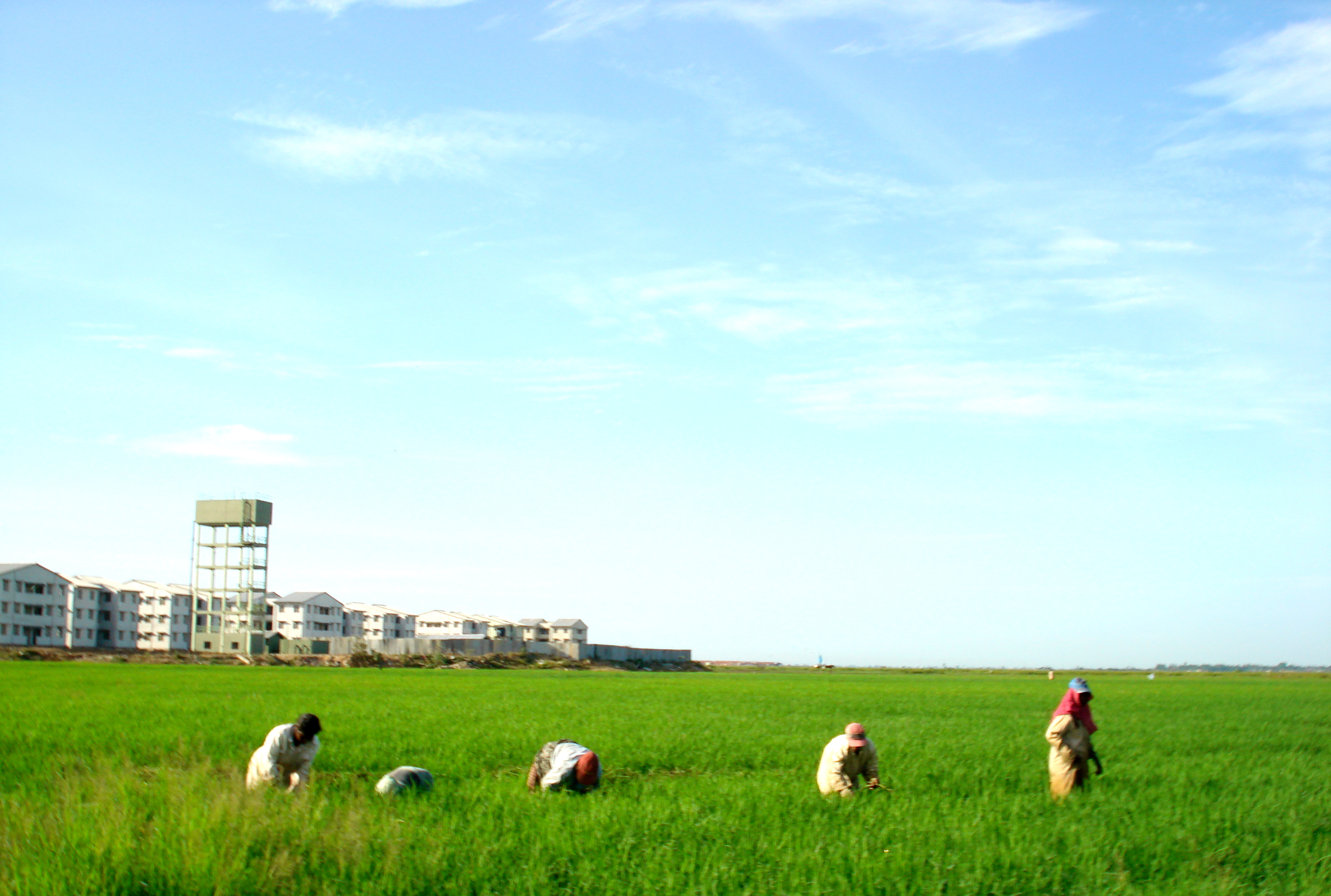 Paddy fields at kalmunai