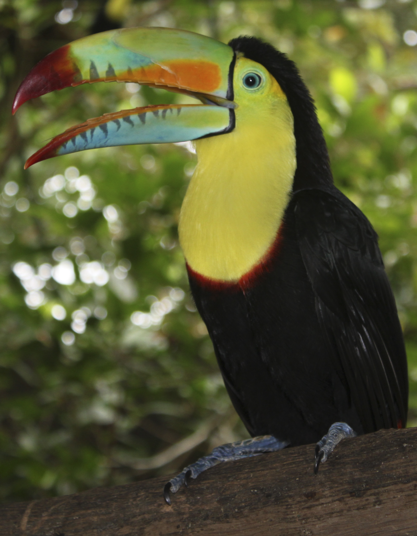 Keel Billed Toucan Wikiwand
