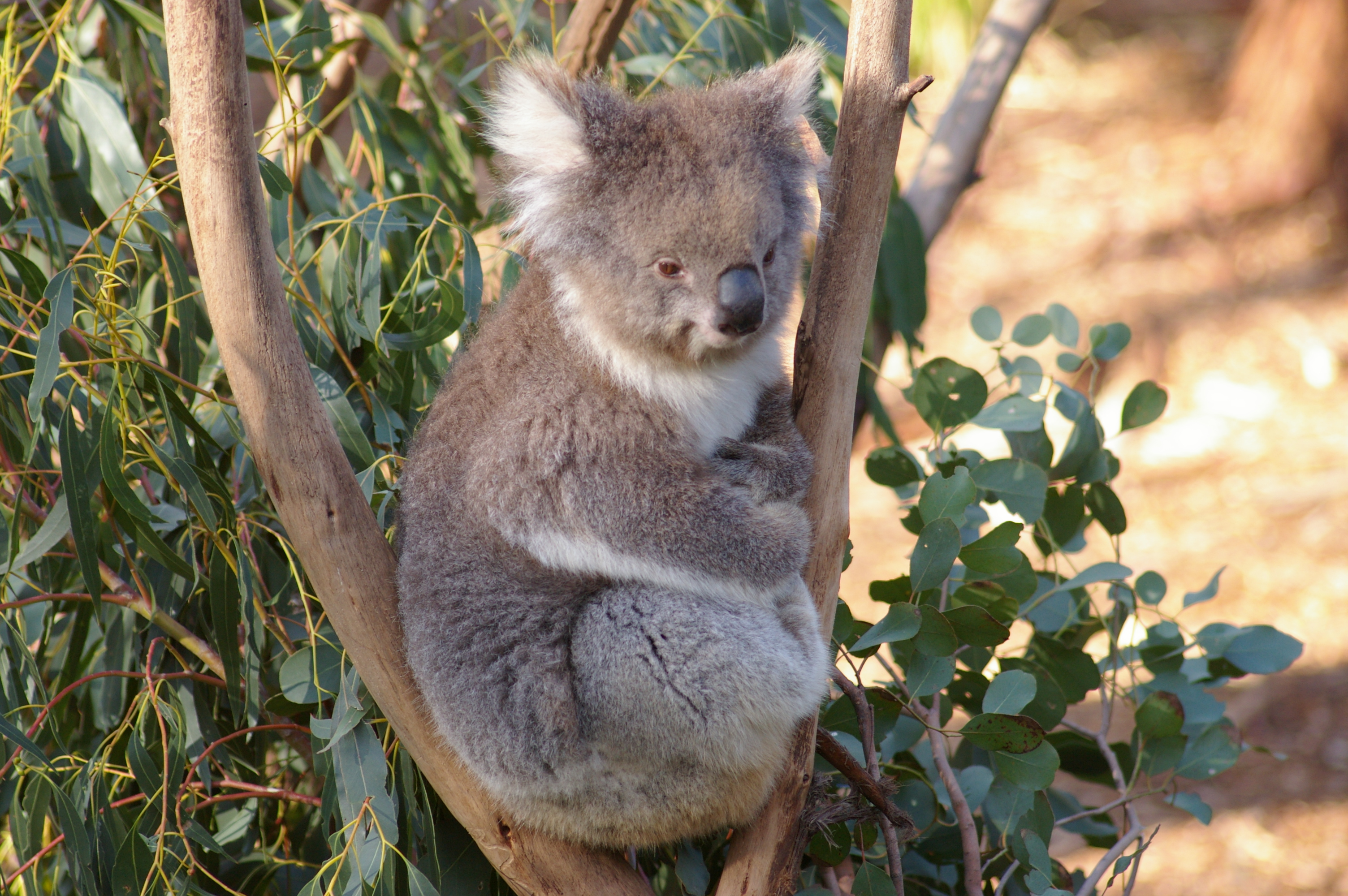 Image Of Koala In Smithsonian Museum Of Natural History