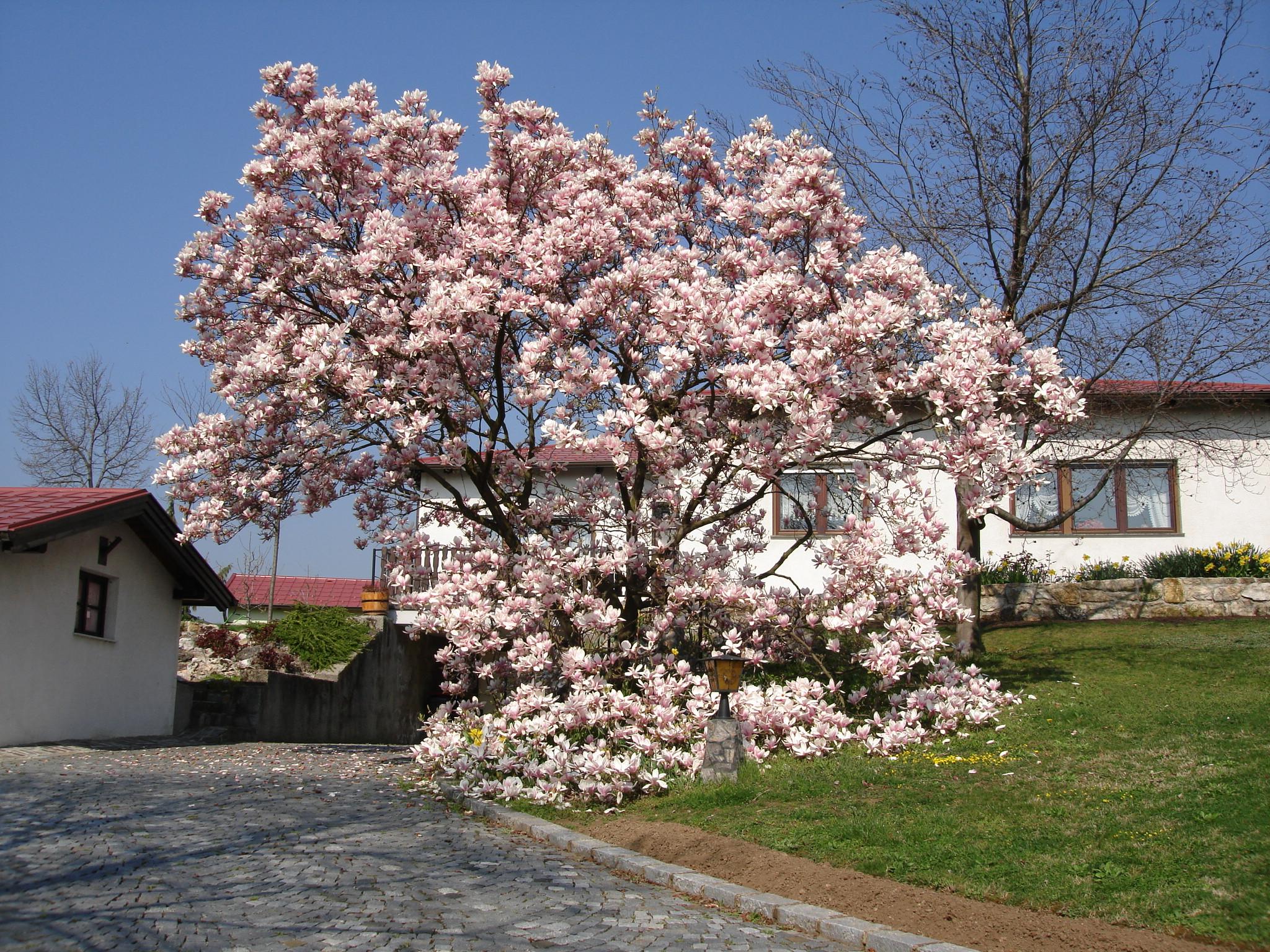 File magnolia tree for Magnolia tree