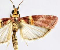 <i>Merulempista rubriptera</i> Species of moth