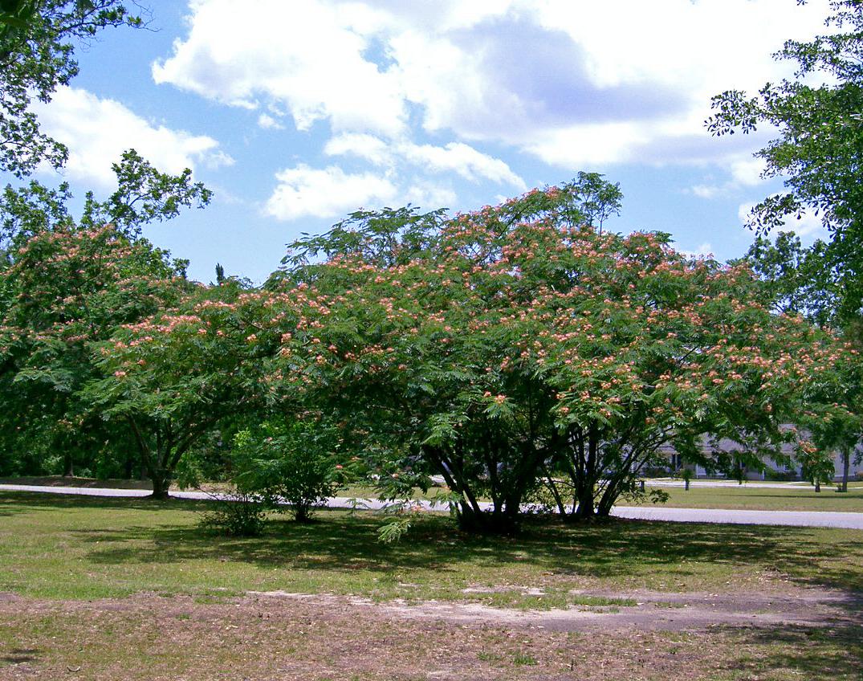 Filemimosa Tree Albizia Julibrissing Wikipedia