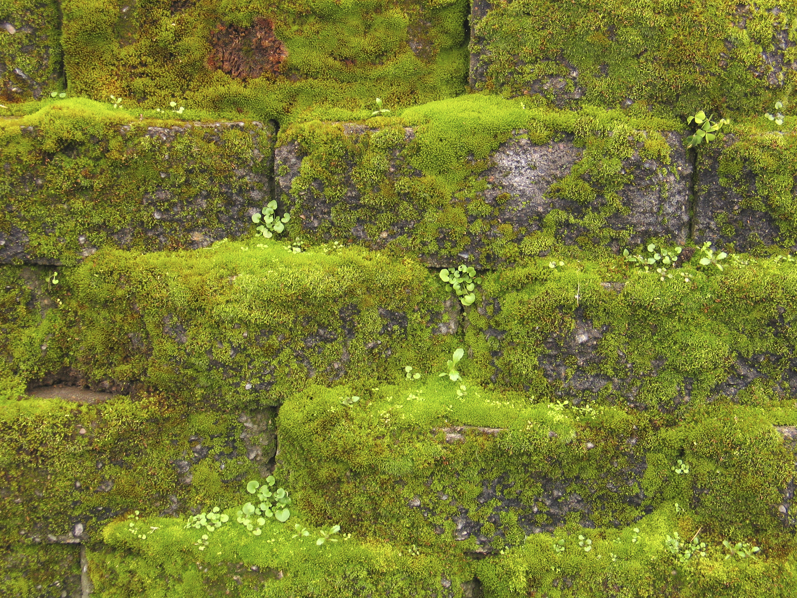 File Moss On Wall Jpg Wikimedia Commons