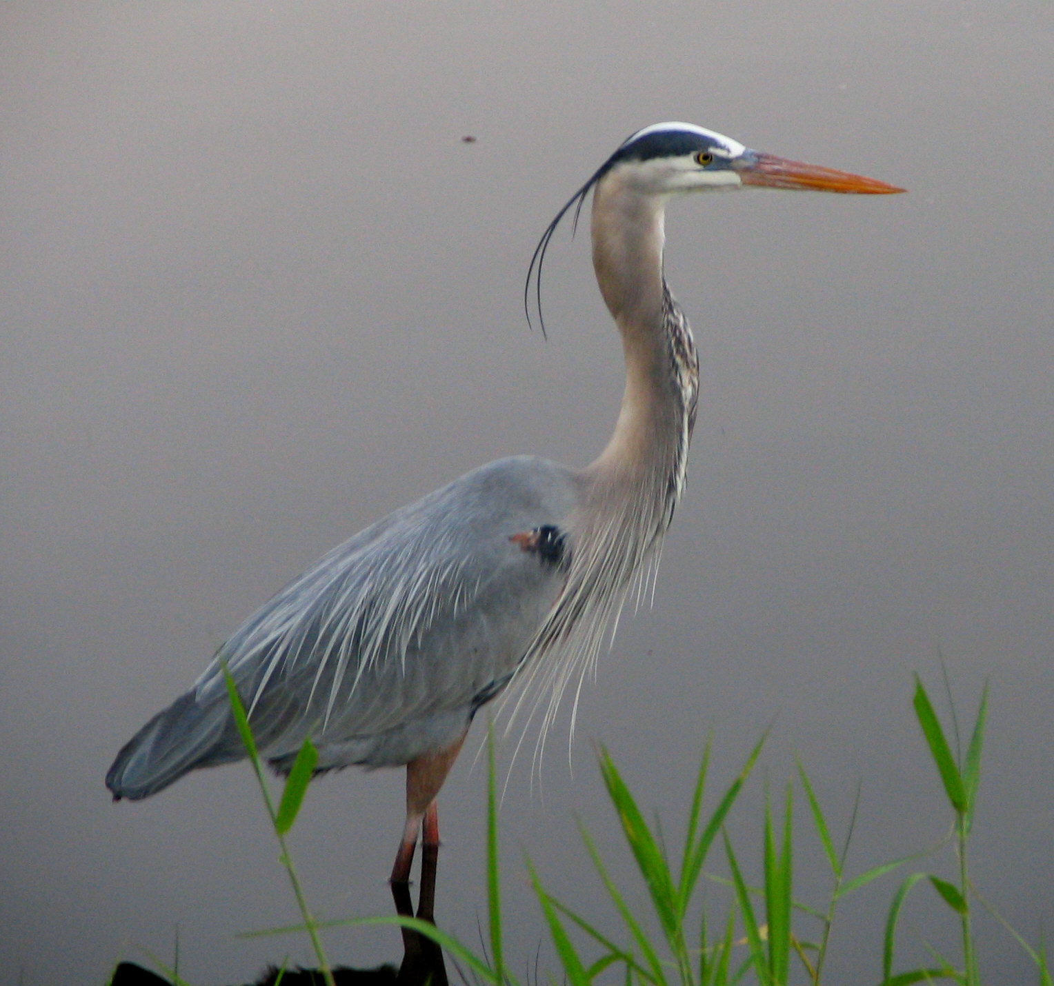 great blue heron of the gulf coast