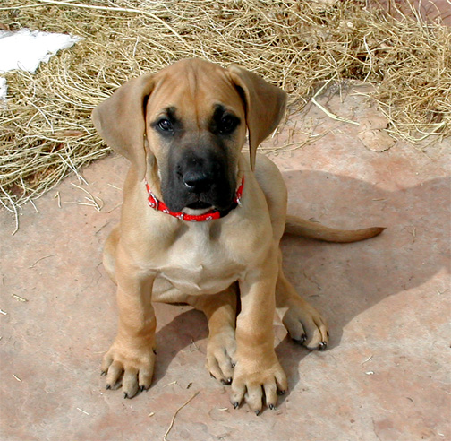 file oola the great dane puppy     wikimedia commons