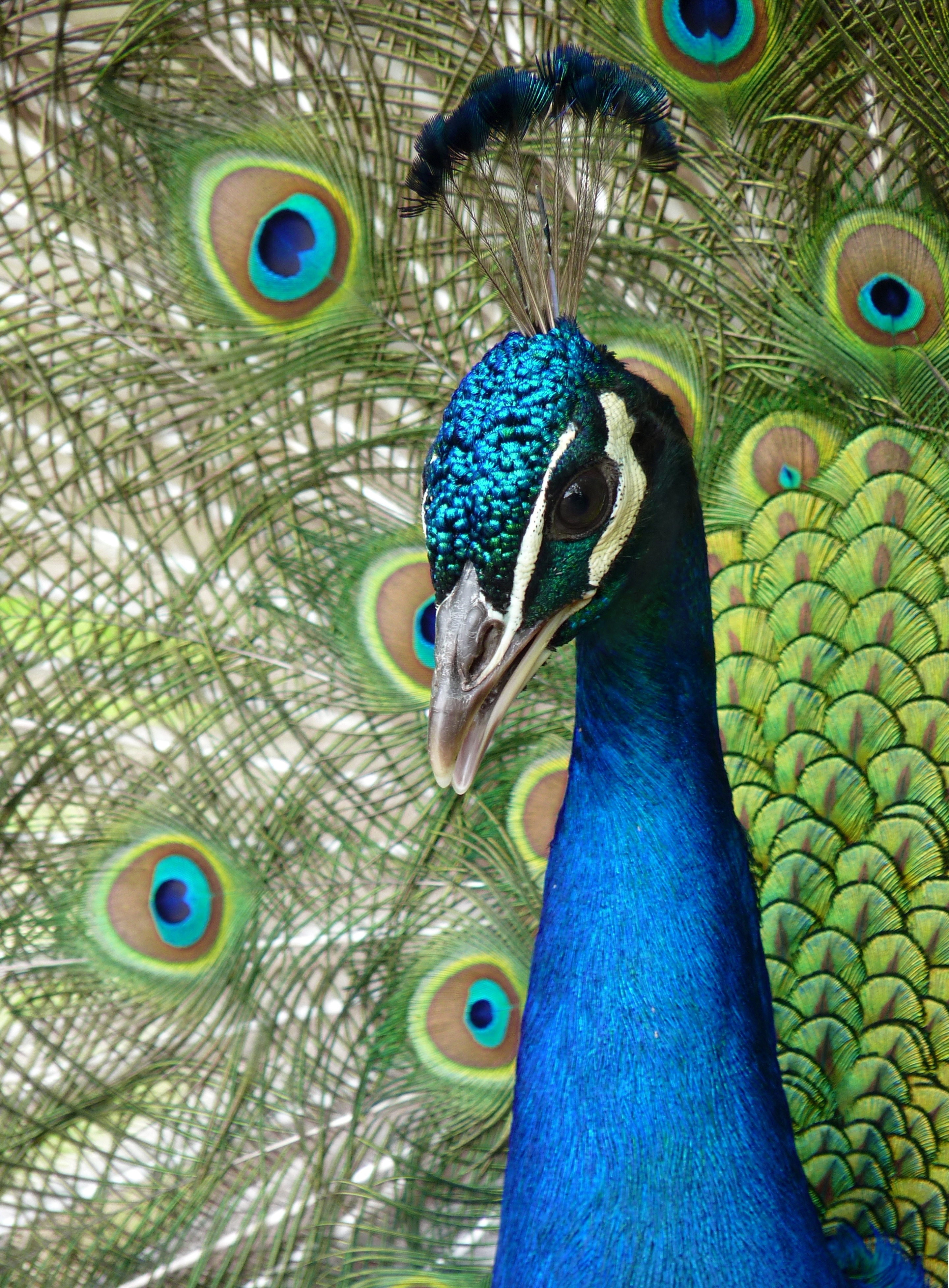 Pavo Real Body Painting