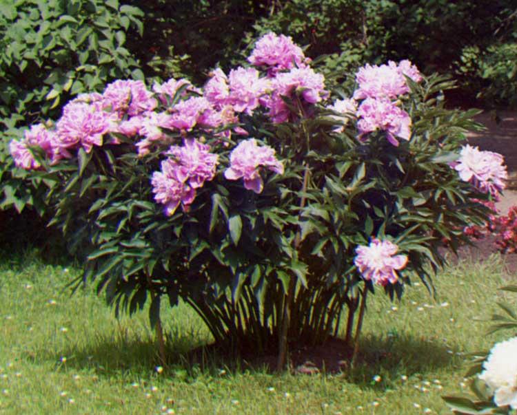 Paeonia wikipedia for Arbusti fioriti perenni