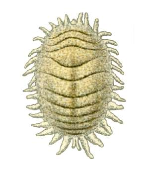 Planococcus citri, Illustration