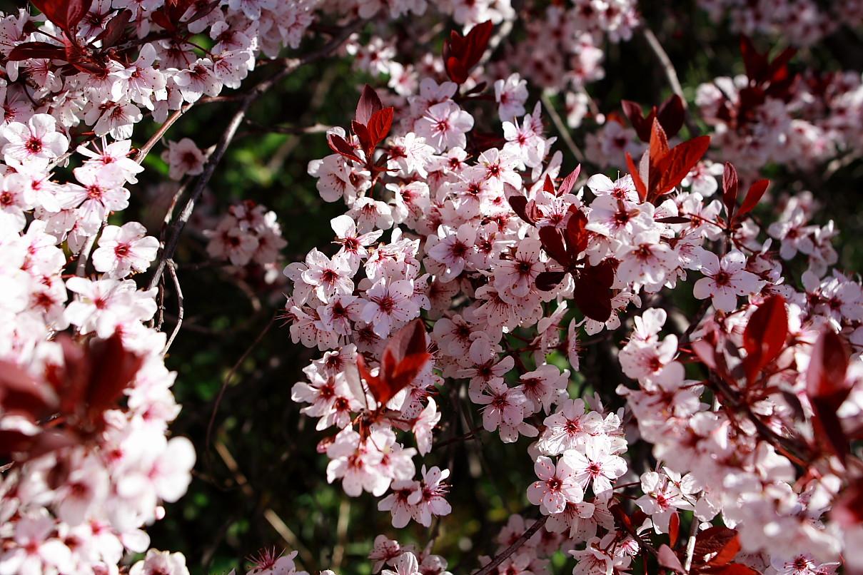 File Plum tree flowers West Virginia ForestWander