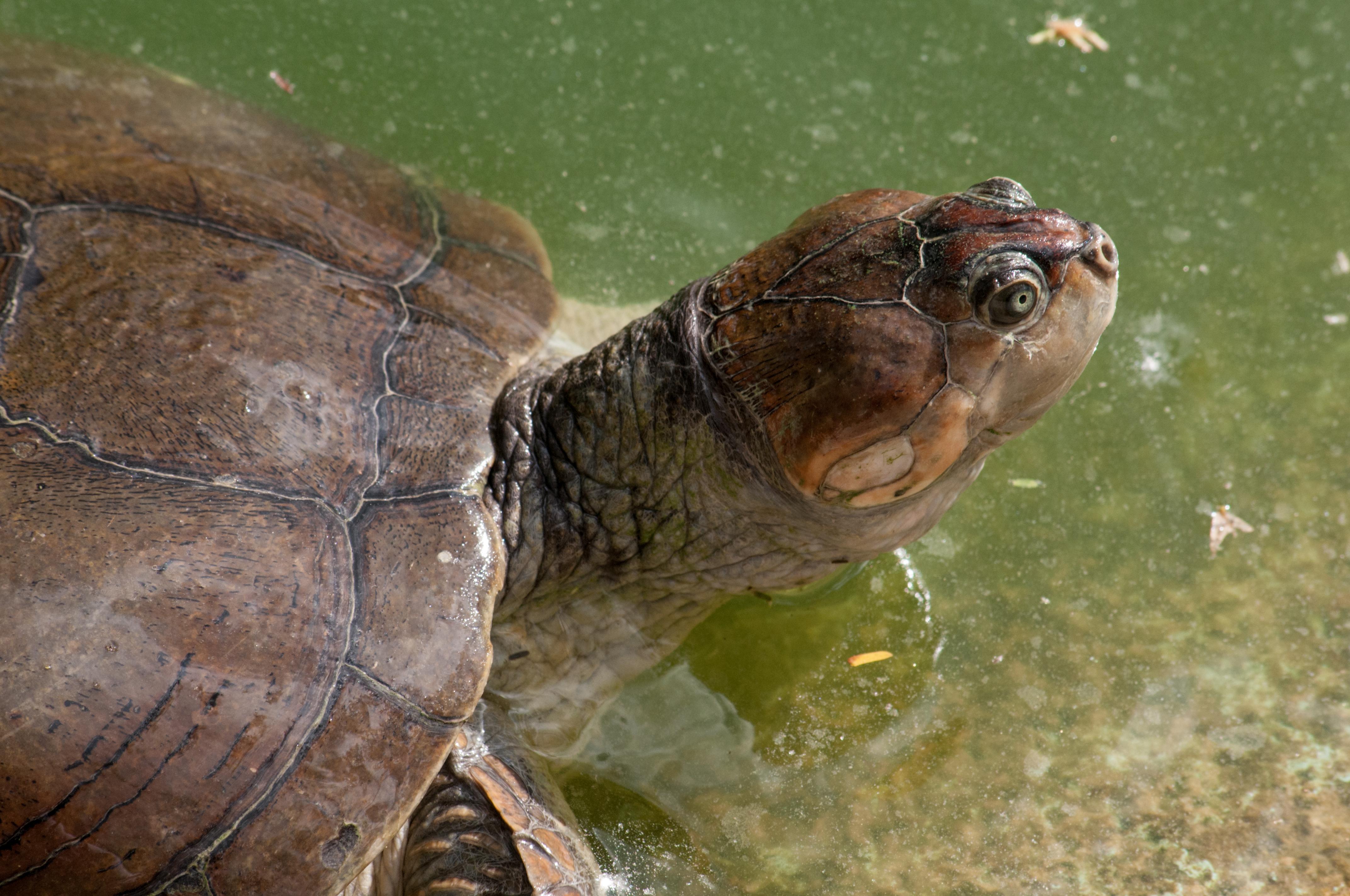 Arrau turtle wikipedia arrau turtle publicscrutiny Gallery