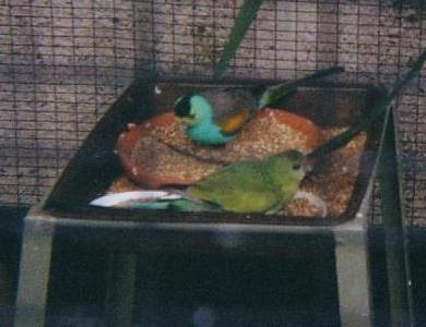 File:Psephotus chrysopterygius1.jpg