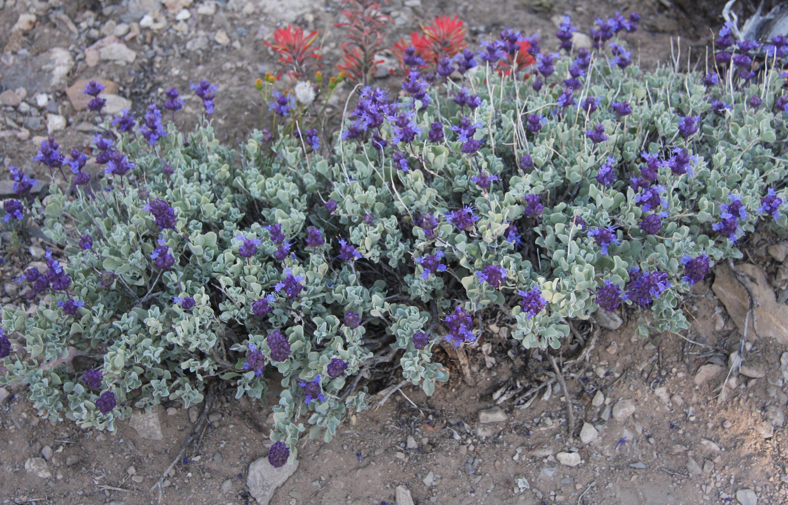 purple sage salvia dorii plant.jpg