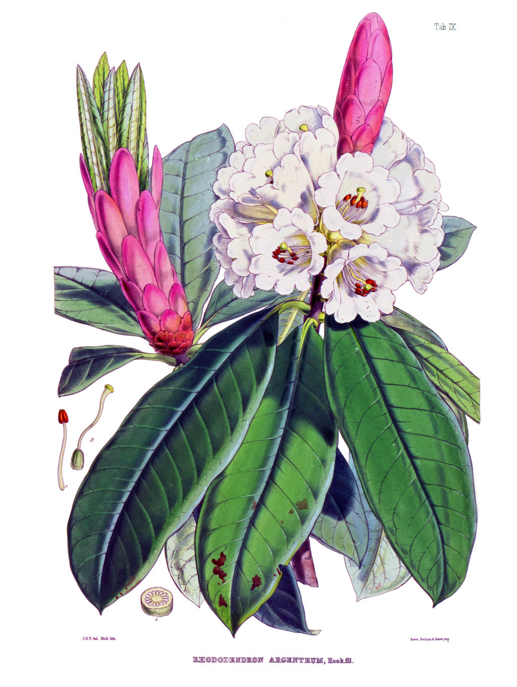 Pink Rhododendron Drawing Rhododendron Grande