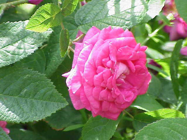File:Rosa sp.247.jpg