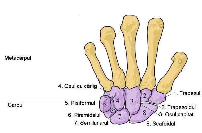 File:Scheme human hand bones Ro 2.JPG - Wikimedia Commons