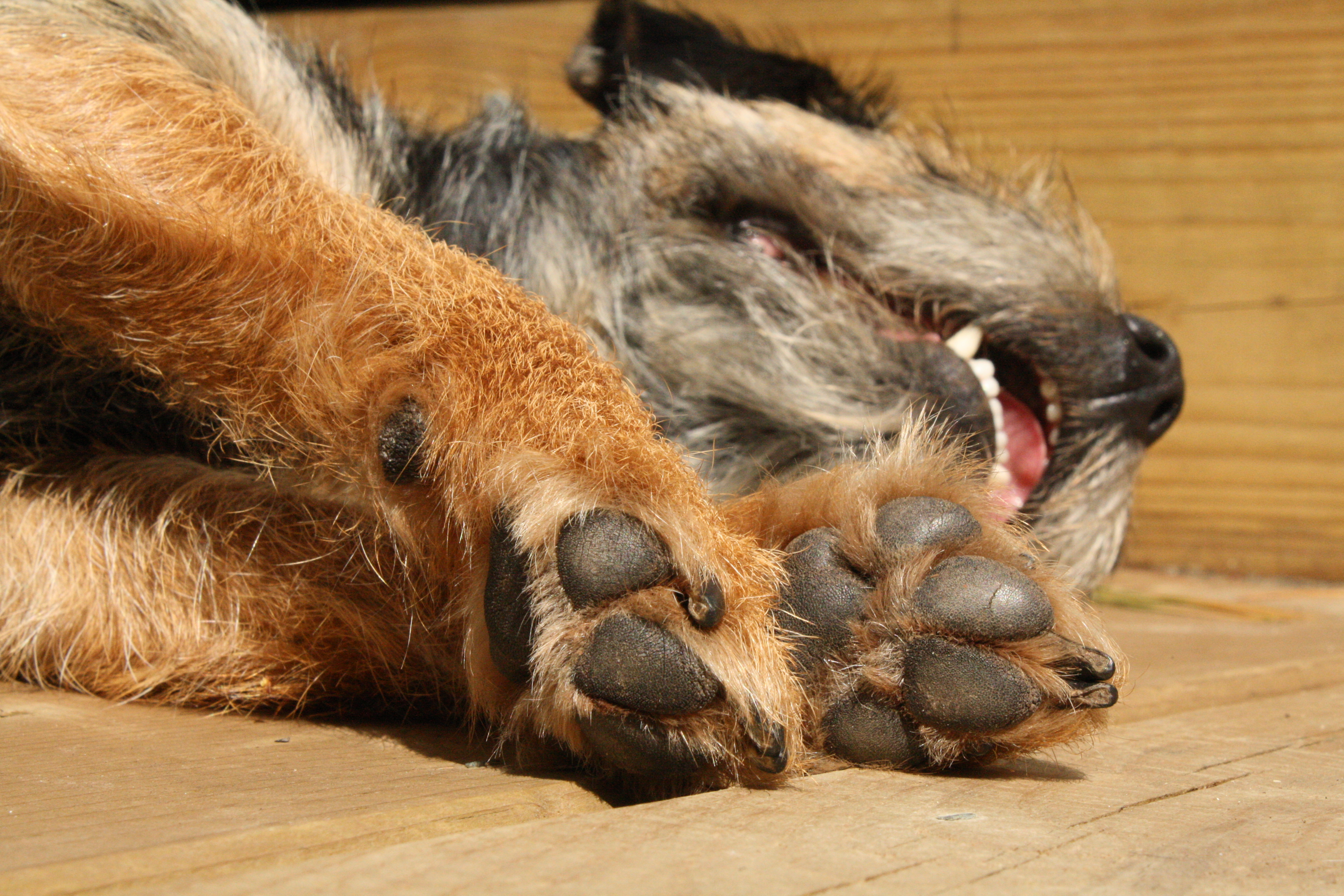 file sleeping border terrier jpg wikimedia commons