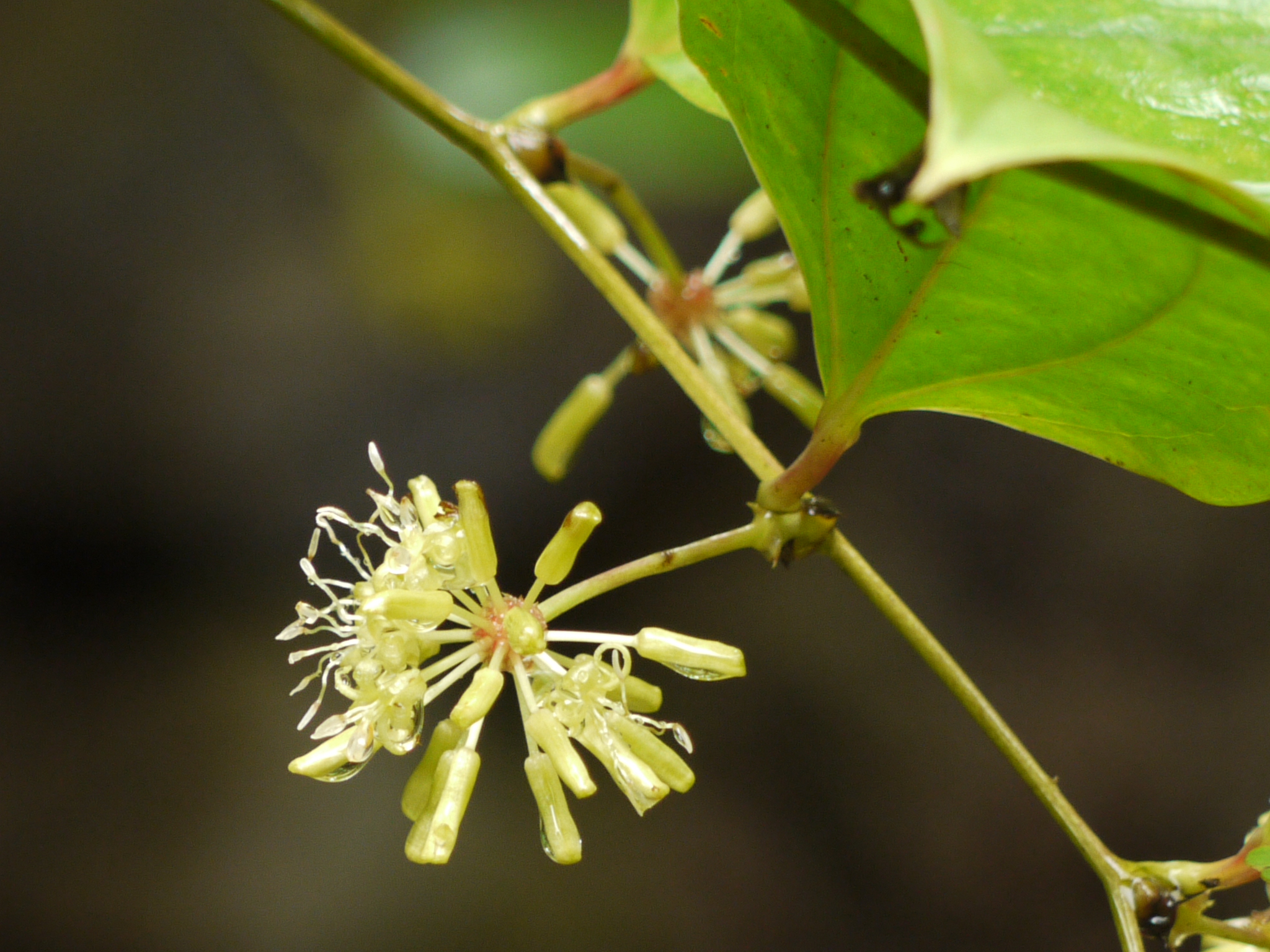 Filesmilax Ovalifolia 3893016526g Wikimedia Commons