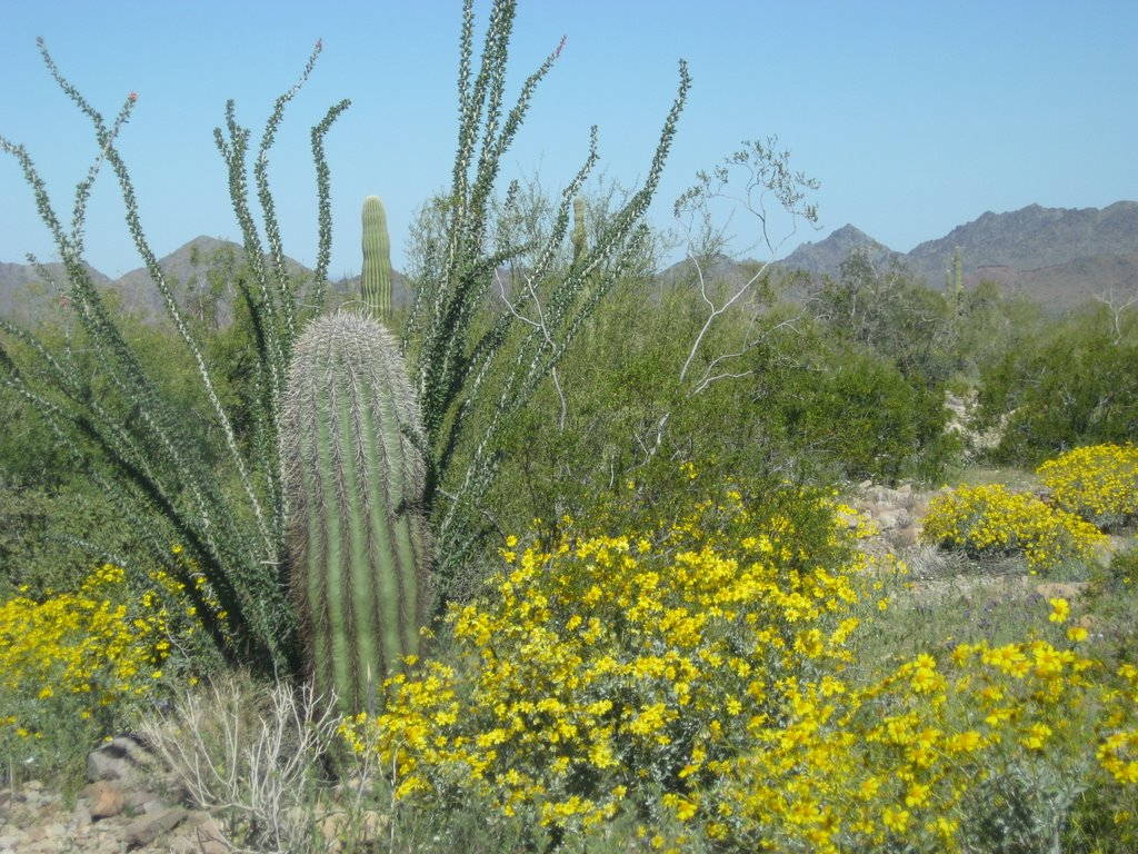 FileSonoran Desert in bloomjpg Wikimedia Commons