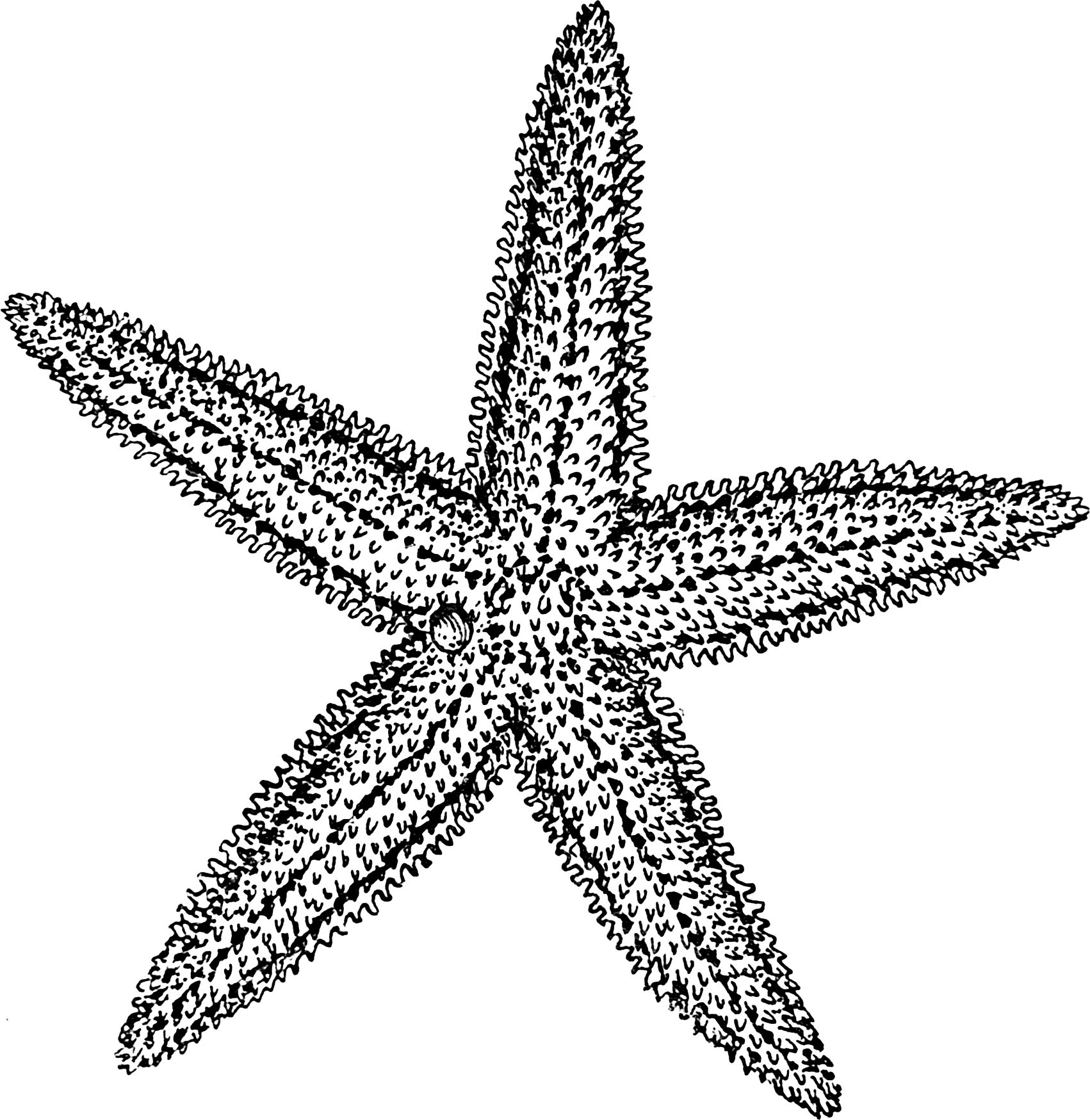 Uncategorized Star Fish Drawing filestarfish psf png wikimedia commons png