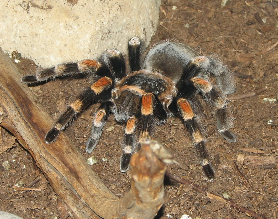 http://upload.wikimedia.org/wikipedia/commons/2/2d/Tarantula_020.jpg
