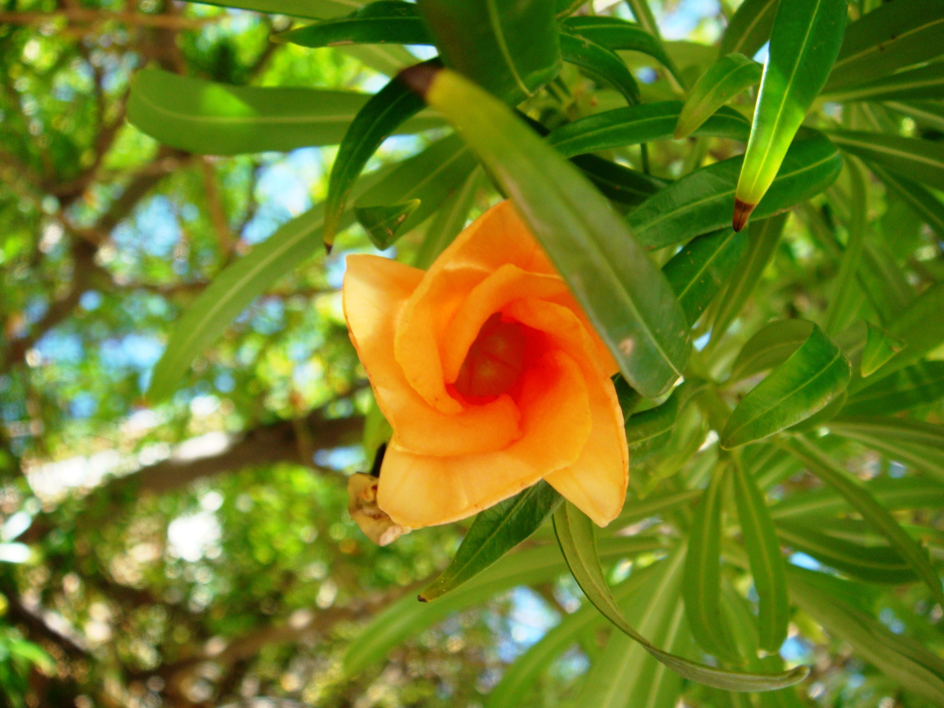 Horsedvm Toxic Plants For Horses Yellow Oleander