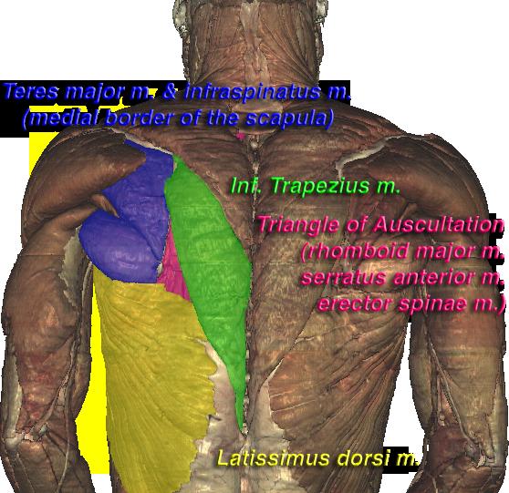 lung auscultation