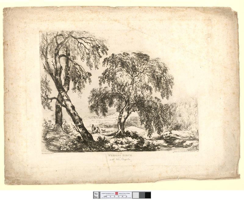 Weeping Birch, in the vale Llangollen