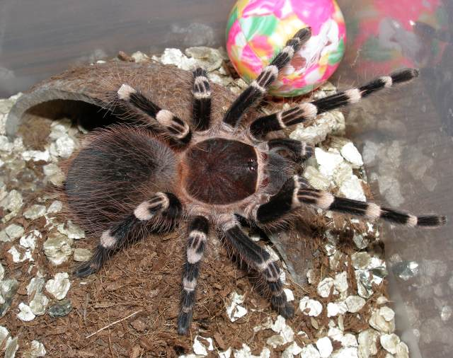 Brazilian whiteknee tarantula