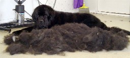 This is a photo I took of my Newfoundland afte...