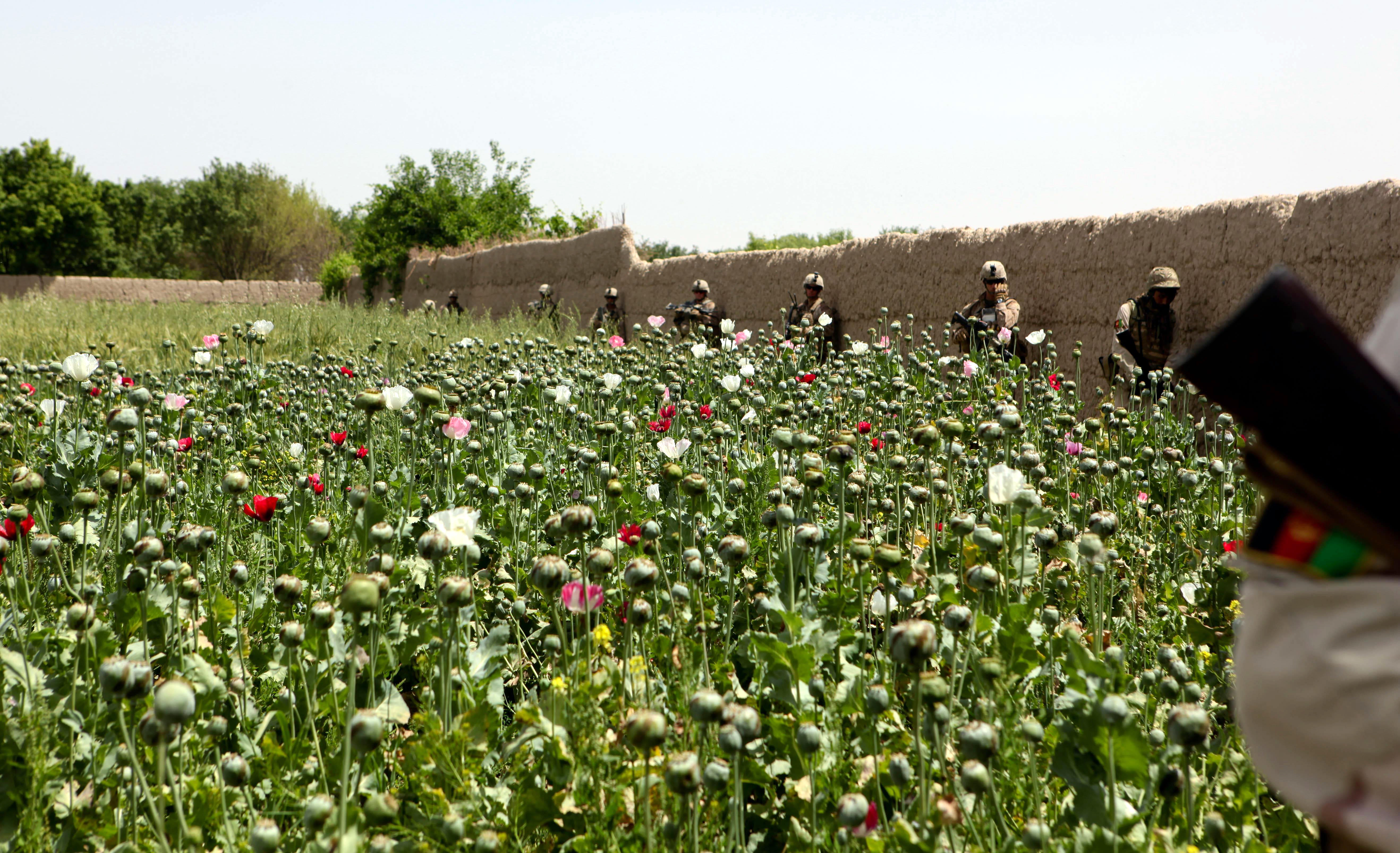 Poppy field in Afghanistan's Helmand Province