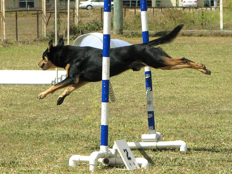 how to train a kelpie to come