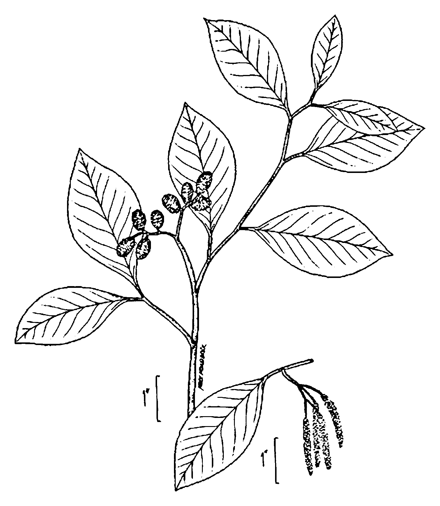 Strawberry Coloring Pages Free
