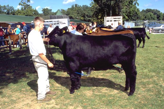 Angus cattle size