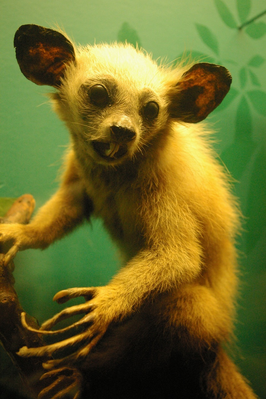 Taxidermied Aye Aye, Field Museum, Chicago