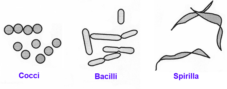 Bacteria shapes diagram search for wiring diagrams file bacteria shapes 01 png wikimedia commons rh commons wikimedia org bacteria diagram unlabeled animal diagram ccuart Image collections